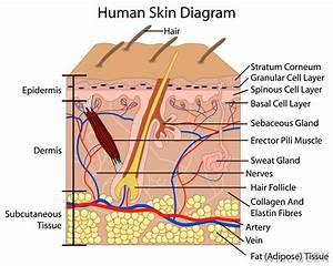 A U0026p 208 Lab Skin Structure