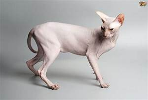 How to Make Sure a Sphinx Cat's Skin Stays Healthy ...