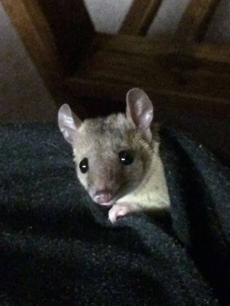 tailed opossum 35 best images about sto short tailed opossums on pinterest south america biology and raising