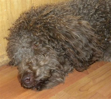 Do F1 Aussiedoodles Shed by The Doodle Do For Groomers Aussiedoodle