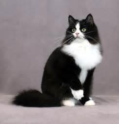 ragamuffin cat ragamuffin pictures