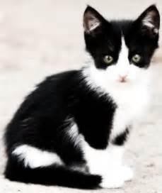 tuxedo cat breed i cats tuxedo cats