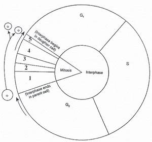 Cell Cycle Diagram Worksheet