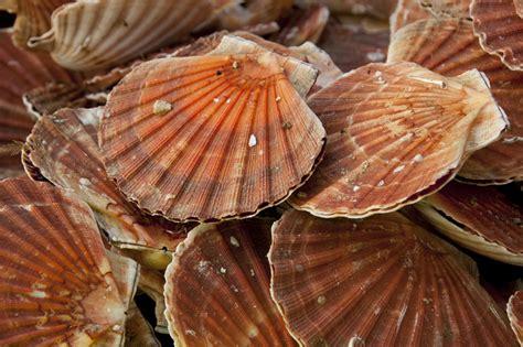 cuisiner les coquilles st jacques avec corail les coquilles jacques bien les choisir bien les