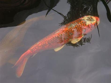 wie alt werden kois fishcare wie alt werden koi