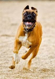 Excited Boxer dog with a derpy face. LOL - http ...