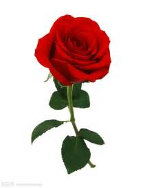 birthday flowers 一枝火红玫瑰花图片素材 图片id 742741 玫瑰花图片 花的图片 图片素材 淘图网 taopic