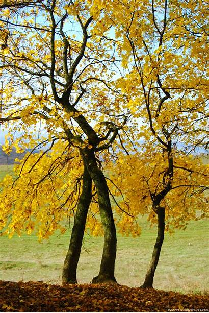 Trees Yellow Tree Autumn Freebigpictures Previous Reply
