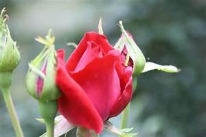 Was Passt Zu Rosen : bedeutung von blumen welche sorte zu welchem anlass passt ~ Lizthompson.info Haus und Dekorationen