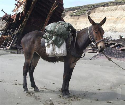 mule male donkey horse female training hybrid donkeys horses