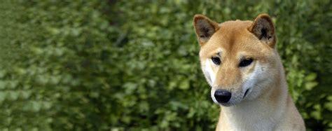 canaan dog breed health history appearance