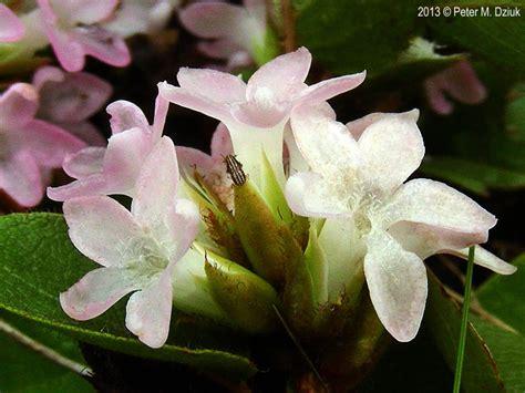 epigaea repens trailing arbutus minnesota wildflowers