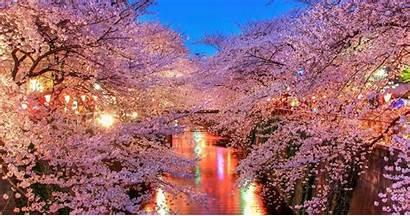 Jepang Sakura Bunga Gambar