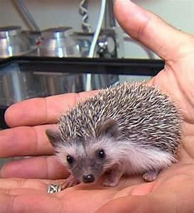 Meet Shane, Cincinnati Zoo's Baby African Pygmy Hedgehog ...