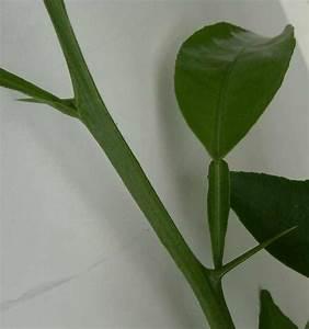 Pflanze Mit Stacheln : citrus pflanze mit dornen stacheln ~ Frokenaadalensverden.com Haus und Dekorationen