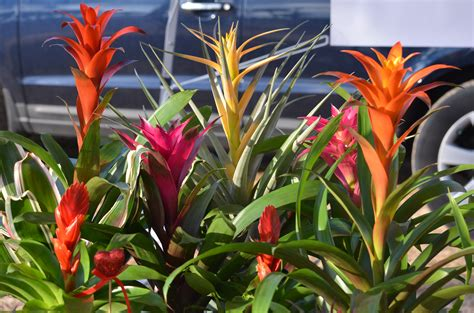 different types of bromeliads with pictures bromeliadsrus all about bromeliads