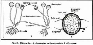 List Of 35 Thallophytes