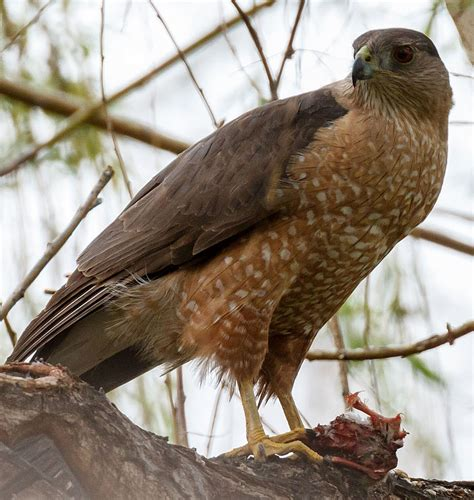 colorado cooper s hawk wow