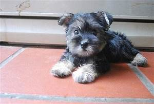 Schnauzer + Silky Terrier Puppy Sold - 5 Years 10 Months ...