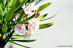 Welche Erde Für Palmen : oleander umtopfen anleitung welche erde der oleander liebt ~ Watch28wear.com Haus und Dekorationen