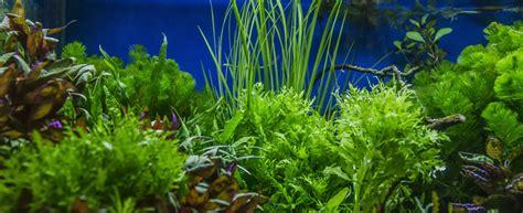 aquarium pflanzen düngen aquarium pflanzen welche ausw 228 hlen hagebau de