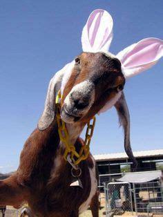 goat birthday birthday cards pinterest goats