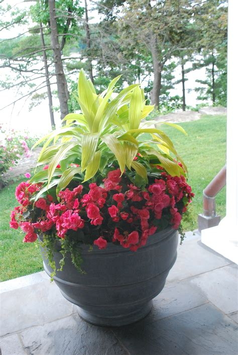 planting begonia tubers in pots planting the annual flowers dirt simple