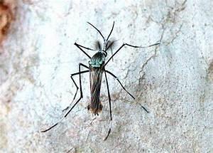 Predatory Mosquito