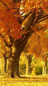 Golden Autumn Tree IPhone 5 Wallpapers HD