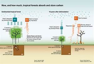 How  And How Much  Tropical Forests Absorb And Store