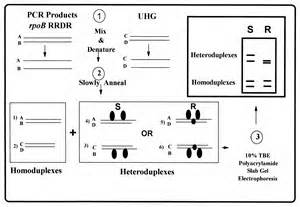 Horizontal Gel Electrophoresis Diagram Images 830