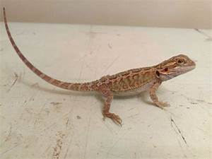 Bearded dragons for sale ? the dragon