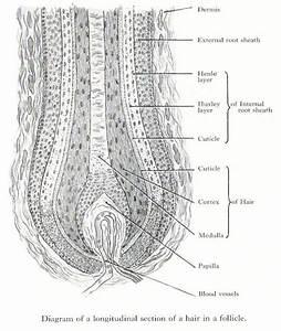 Labeled Hair Follicle Diagram