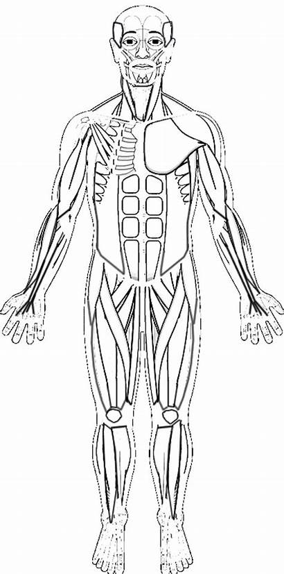 Muscle Muscles Anatomy Worksheet Coloring Human Drawing