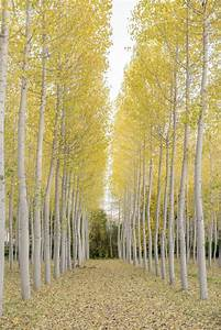 What Are The Different Types Of Poplar Trees