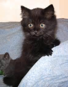 Black Long Haired Munchkin Kitten