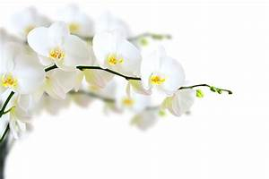 Schöne Orchideen Bilder : fototapete weisse orchideen jetzt online bestellen ~ Orissabook.com Haus und Dekorationen