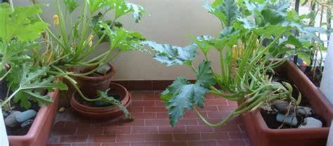 Coltivare Zucchine In Vaso by Zucchine In Vaso Come Lavorarle Al Meglio