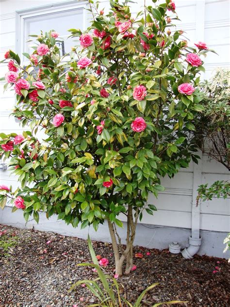 what to plant with camellias danger garden buh bye camellia