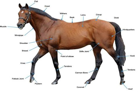racehorse horses horse conformation guide racing bone beginners track heart things risen nothing hotsr