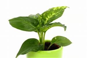 Zimmerpflanze Lange Grüne Blätter : dieffenbachie dieffenbachia pflege umtopfen vermehren ~ Markanthonyermac.com Haus und Dekorationen