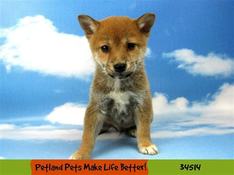 Post your pictures, videos, questions, etc. Shiba Inu-DOG-Male-Red-2668849-Petland Pets & Puppies ...