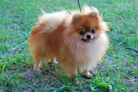 pom pom cuisine pomeranian puppies rescue pictures information