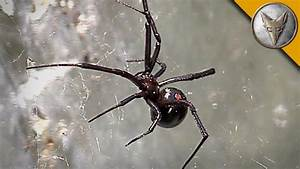Black Widow Spider Is Too Close For Comfort