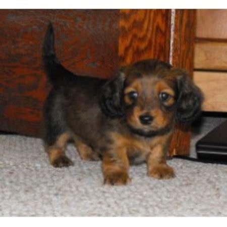 heartland dachshunds  southern illinois dachshund