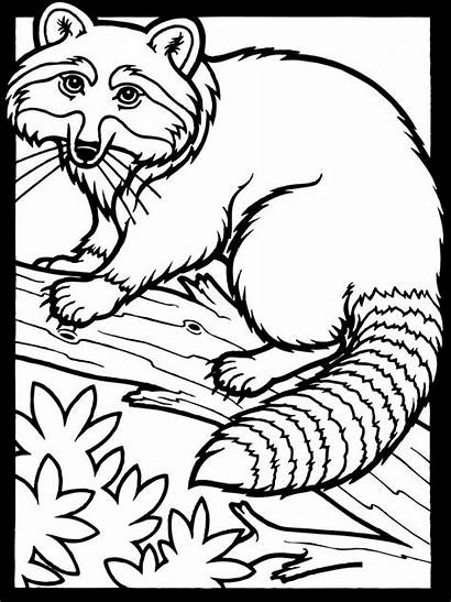 Coloring Raccoon Pages Printable