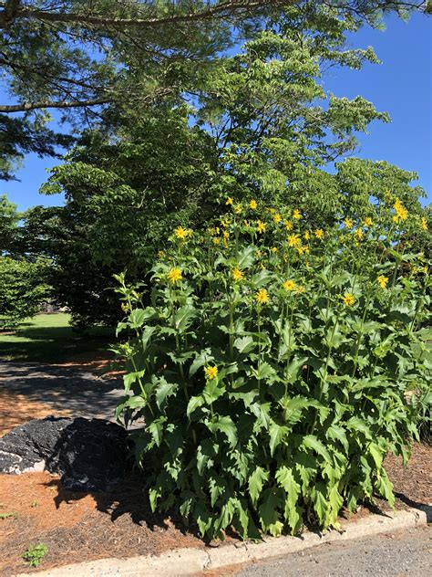 July 5, 2019 - Cup Plant - Barton Arboretum and Nature ...