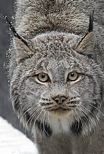 Wild Cat That Looks Like a Lynx