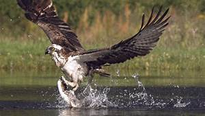 An osprey fishing in spectacular super slow motion Highlands Scotland's Wild Heart YouTube