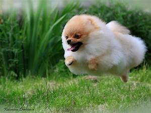 Do you like Pomeranians?